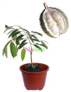 Bibit Durian Sitokong Kualitas Super