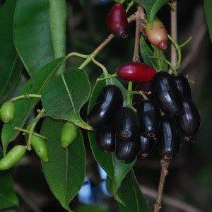 Bibit Pohon Jamblang, Buah Duwet, atau Juwet