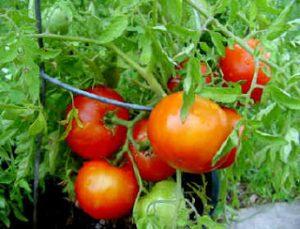 Benih Tomat Hibrida Kualitas Nomor Satu