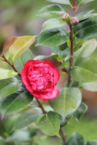 Bibit Bunga Camelia Merah