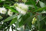 Bibit Pohon Minyak Kayu Putih