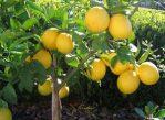 Bibit Lemon Tanpa Biji Impor