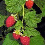 Bibit Pohon Raspberry Merah