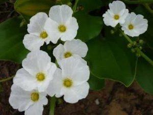 Bibit Pohon Bunga Melati Air