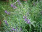 Bibit Bunga Lavender Tinggi 30-40 cm