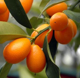 buah-jeruk-nagami.jpg. Apakah Anda tertarik memiliki bibit .