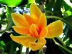 Bibit Bunga Cempaka Kuning Super Jumbo