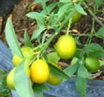 Bibit Pohon Jeruk Tong Heng