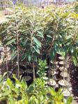 Bibit Durian Musangking Kaki 3 Tinggi 1-2 Meter