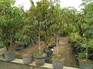 Pohon Durian Tinggi