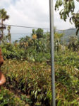 Bibit Durian Petruk Tinggi 70 cm