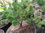 Bonsai Tanaman Cemara Sargenti 30-40 cm