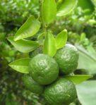 Bibit Jeruk Sambal, Jeruk Limau, atau Jerek Pecel