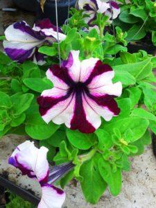 Bibit Tanaman Petunia, Indah Sekali!