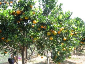 Jeruk Keprok Borneo Unggul dari Okulasi