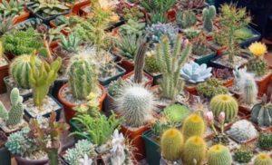 Kaktus dan Sukulen Mini dengan Banyak Pilihan