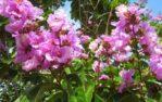 Bibit Bunga Sakura Bungur 15-30 cm