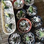 30 in 1 Paket Kaktus dan Sukulen Mini, Murah Banget!