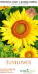 Benih Bunga Matahari/Sunflower Isi 25 Biji