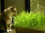 Benih Rumput Makanan Kucing (Cat Grass)