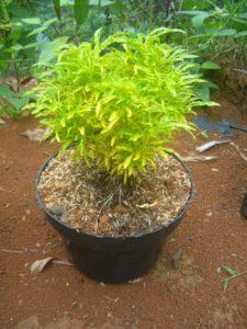 Tanaman Hias Brokoli Paling Murah