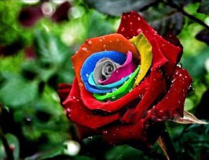mystic-rainbow-rose.jpg