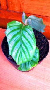Calathea Orbifolia atau Calathea Presiden 20 cm