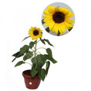 Bibit Bunga Matahari, Tinggi 20-40 cm