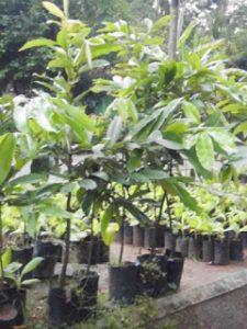 Bibit Pohon Bisbul atau Buah Mentega