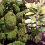 Bibit Cempedak Durian Unggul