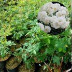 Bibit Tanaman Mawar Rambat (Climbing Rose) Putih