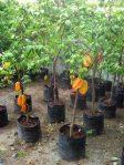 Bibit Pohon Belimbing Bangkok Merah Super