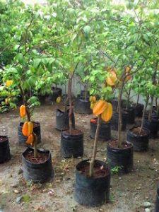 Bibit Pohon Belimbing Bangkok