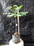 Bibit Pohon Cermai Unggul Cepat Berbuah