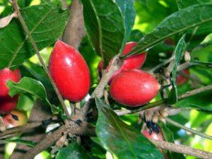 Bibit Buah Ajaib (Miracle Fruit)
