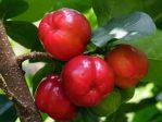 Bibit Barbados Cherry, Buah Sumber Vitamin C