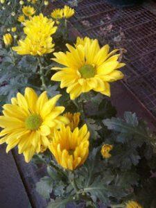 Bibit Bunga Krisan/Seruni Warna Kuning