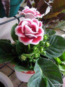 Bibit Bunga Gloxinia yang Cantik Sekali
