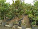 Bibit Unggul Durian Montong Lebih dari 2 Meter