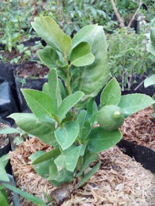 Bibit Jeruk Lemon Lokal Tinggi 40 cm