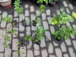 Bibit Tanaman Lemon Balm Super