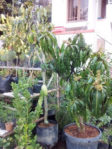 Bibit Pohon Mangga Kio Jay Cepat Berbuah