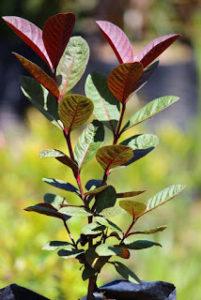 Bibit Pohon Jambu Biji Australia