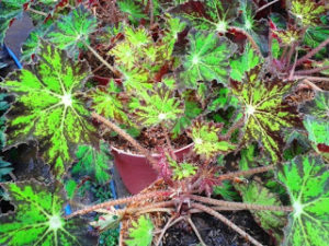 Bibit Begonia Green Star yang Indah