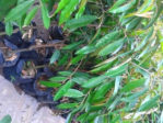 Bibit Tanaman Durian Duri Hitam