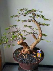 Bonsai Tanaman Cendrawasih Tinggi 30-40 cm