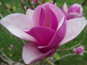 Bunga Cempaka Mulya Berwarna Ungu