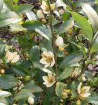 Bunga Cempaka Putih/Kantil Harum Mewangi