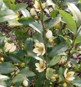 Bunga Cempaka Putih/Kantil Haruma Mewangi