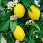 Jeruk Lemon Tea Siap Berbuah Cepat